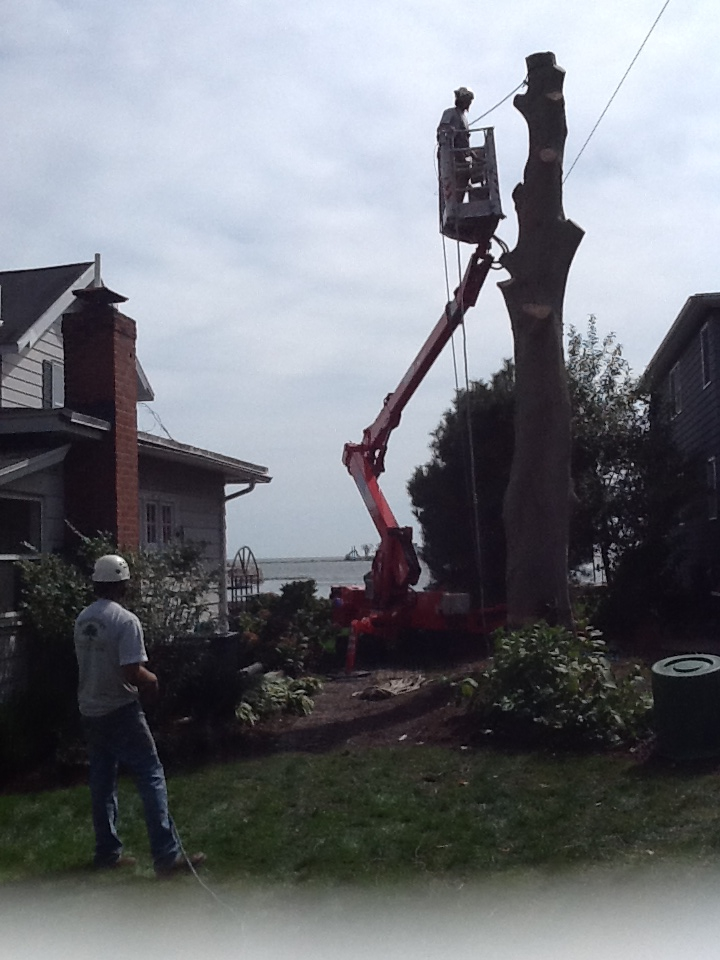 Decline Of Local Ash Trees Poses Management Challenges