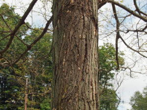 Gypsy Moth Outbreak 2015, Northford CT