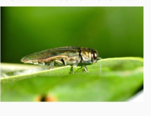 News/Alerts Emerald Ash Borer In Connecticut towns